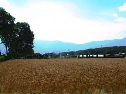 玄関先から望む中央アルプスと麦畑(西側)