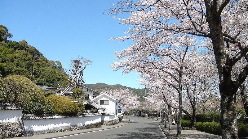 歴史と文学の道・桜